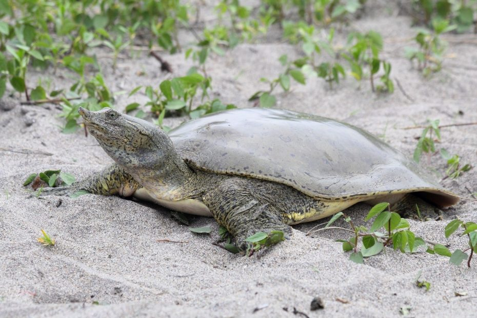 To Begin Soft Covering Leatherback Turtle